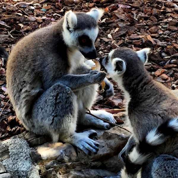 Fotos de Bioparc Valencia, lemures