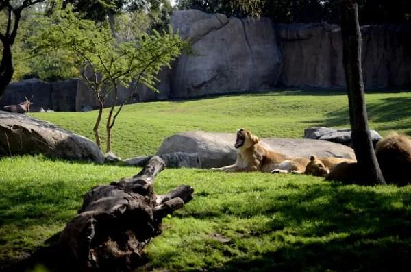 Fotos de Bioparc Valencia, leones