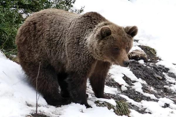 Fotos de Cuenca, oso El Hosquillo