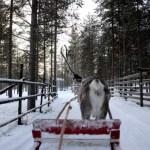 Fotos de Laponia Finlandesa, carrera de renos
