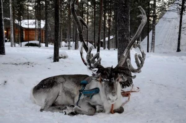 Fotos de Laponia Finlandesa, reno descansando