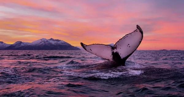 Fotos de Laponia Noruega, avistamiento de ballenas
