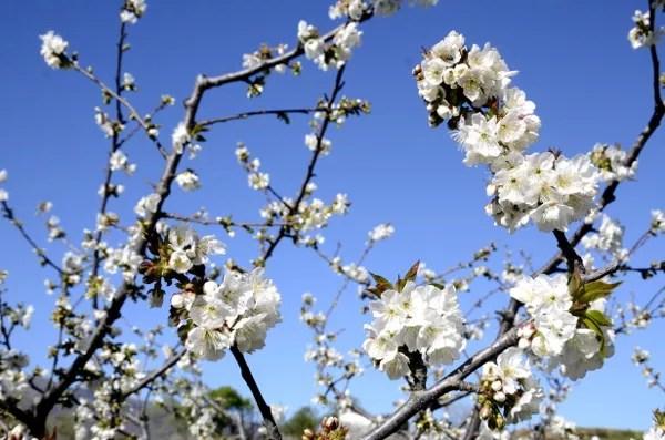 Fotos del Valle del Jerte, Agroturismo El Vallejo cerezos