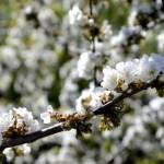 Fotos del Valle del Jerte en Caceres. Rama de cerezos