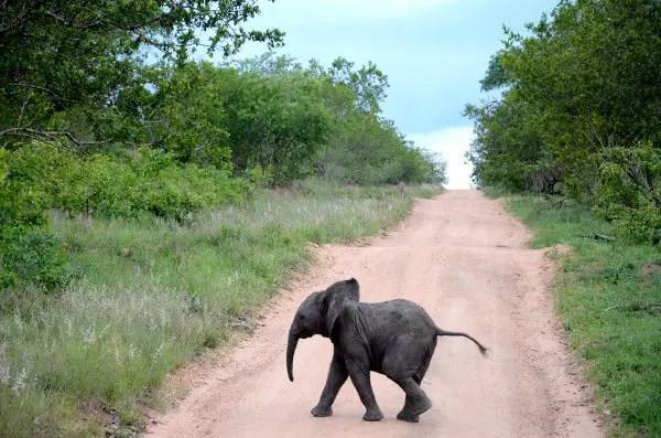 Fotos viaje a Sudáfrica, elefantito en Kruger