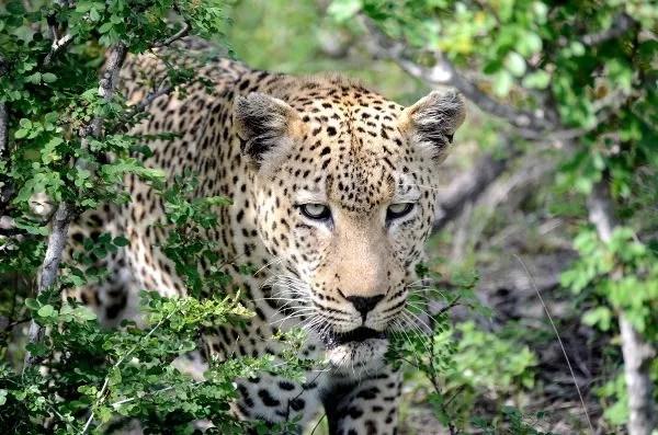 Fotos viaje a Sudáfrica, leopardo en Kruger