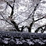 Fotos de Japon, hanami