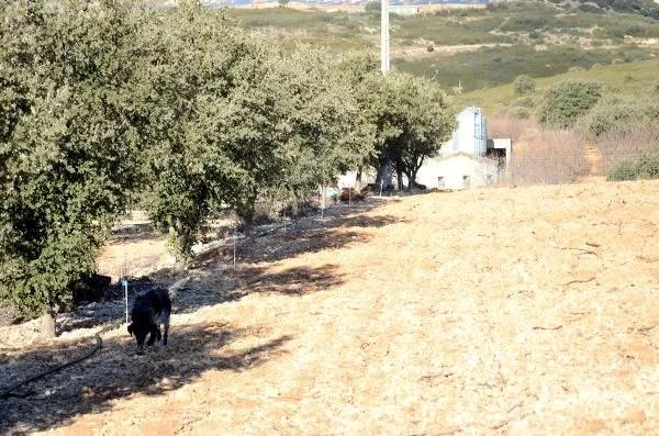 Moreta buscando trufa negra en Castellón