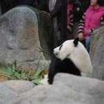 Oso panda del Ocean Park Hong Kong