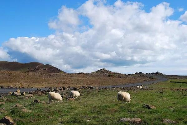 Ovejas en las carreteras de Islandia