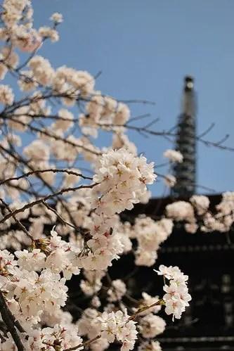 Sakura en el Hida Kokubun-Ji