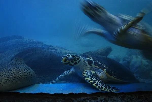 Tortugas marinas en el acuario Tri Nguyen de Nha Trang