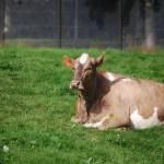 Vaca islandesa del zoo de Reikiavik