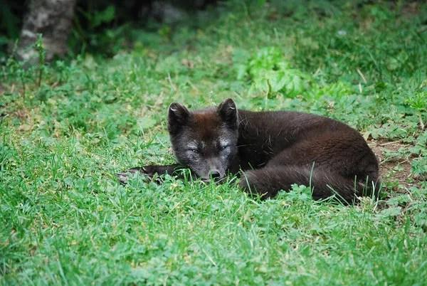 Zorro del zoo de Reikiavik