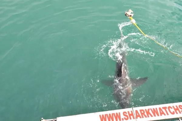 Fotos de bucear con tiburon blanco en Sudafrica, dorsal
