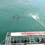 Fotos de bucear con tiburon blanco en Sudafrica, jaula
