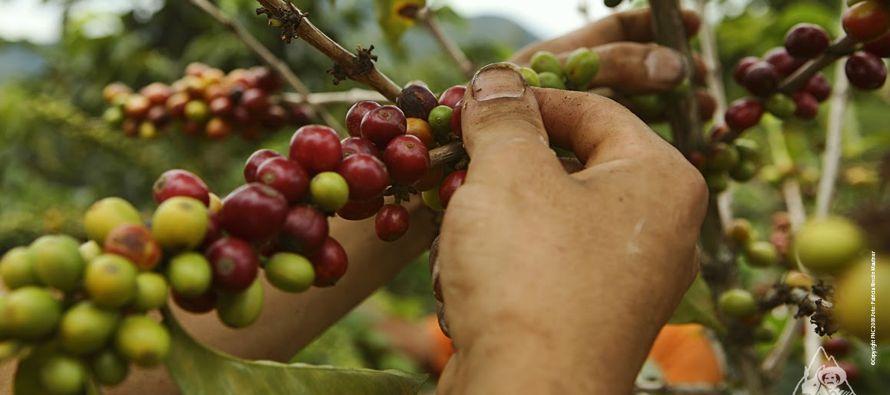 Resultado de imagen para el cultivo del café en costa rica