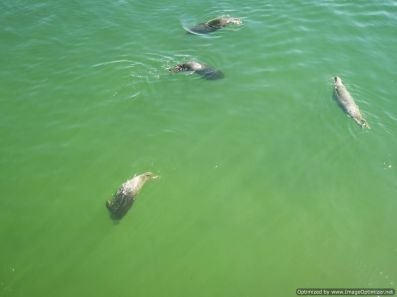focas esperando a merendar