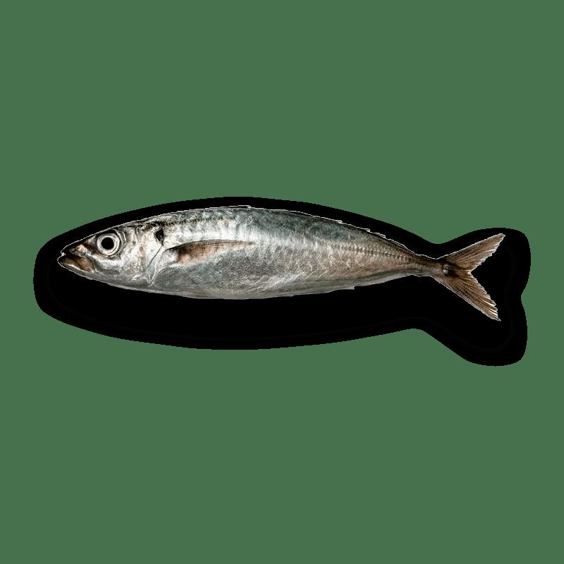 el pescador barcelona Jurel