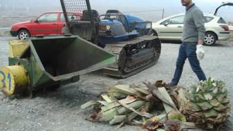 Triturando los restos de las pitas afectadas