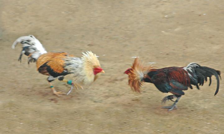 tamaño promedio de gallo por raza