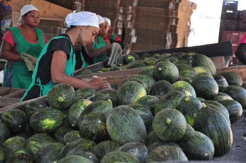 El melón piel de sapo que se está produciendo es para consumo local, el año pasado, mucha de esta fruta se fue para el exterior.