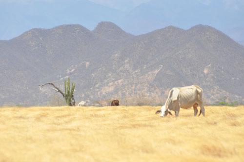 Debido a que los pastos están secos, el ganado se está muriendo en el corregimiento de Patillal. EL PILÓN/Adamis Guerra.