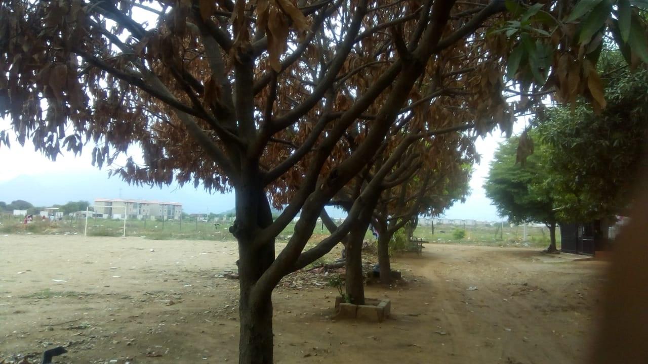 Así lucen los árboles que poco a poco se fueron secando, al parecer, por el accionar de algún miembro de este sector.   CORTESÍA.