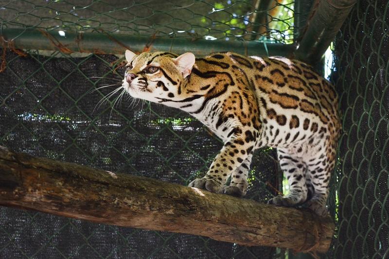 El primer accidente registrado fue el 18 de diciembre, entre el municipio de Codazzi y San Diego, en donde un jaguar falleció presuntamente por un disparo, según la Policía al no poder corroborar en el lugar de los hechos evidencias que indicaran un atropello.   FOTO/JOAQUÍN RAMÍREZ.