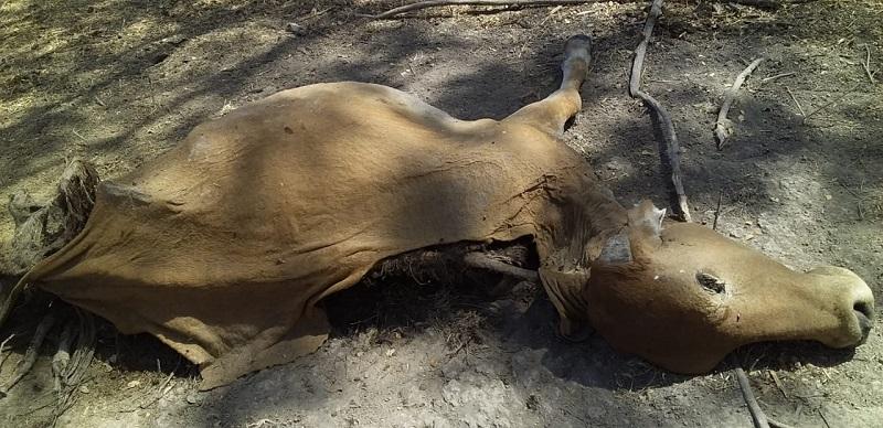 Más de 100 cabezas de ganado han muerto a causa de la falta de agua.  FOTO/CORTESÍA.