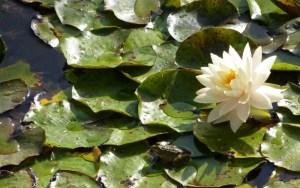 rana, optimista, flor, hojas, lago, ilustración para sermones, poder