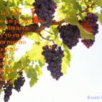 frases cristianas, facebook, citas biblicas, uvas, viñedos