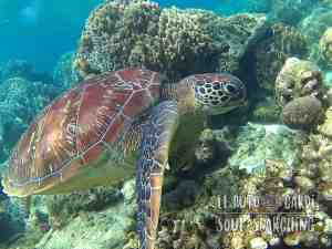 Apo Island Day Trip - Snorkeling with sea turtles