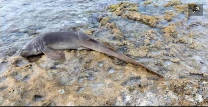 https://www.poresto.net/quintana-roo/2021/7/12/denuncian-en-redes-especie-de-tiburon-gato-arponeado-en-playas-de-cozumel-263139.html