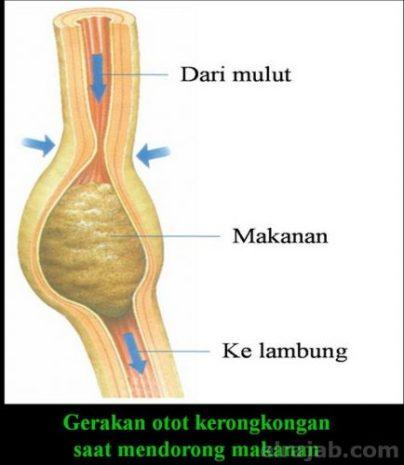 fungsi organ pencernaan