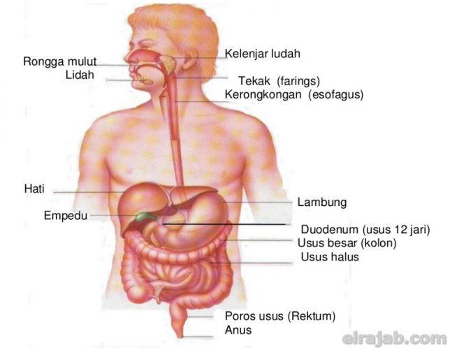 fungsi organ pencernaan manusia