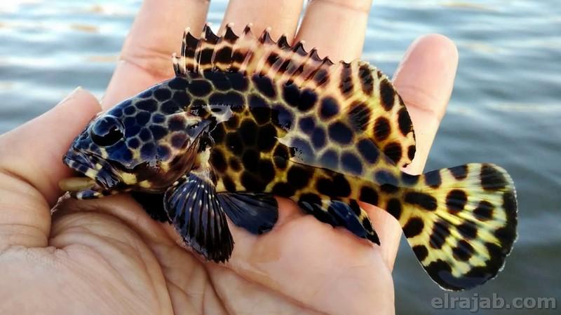 jenis ikan kerapu