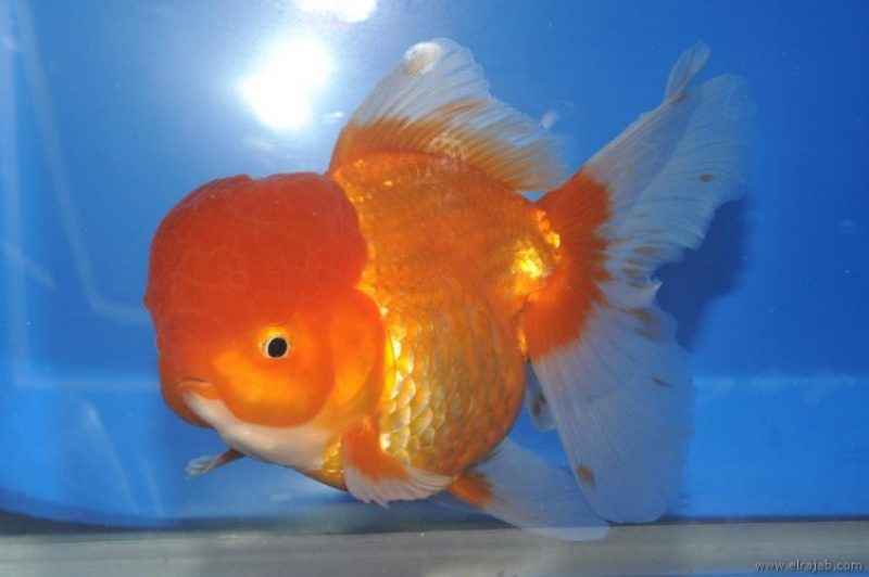 jenis Ikan Mas Koki Lionhead
