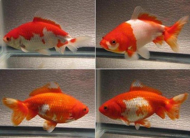 jenis Ikan Mas Koki Sakura