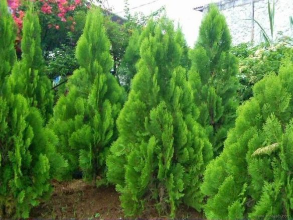 jenis pohon cemara kipas