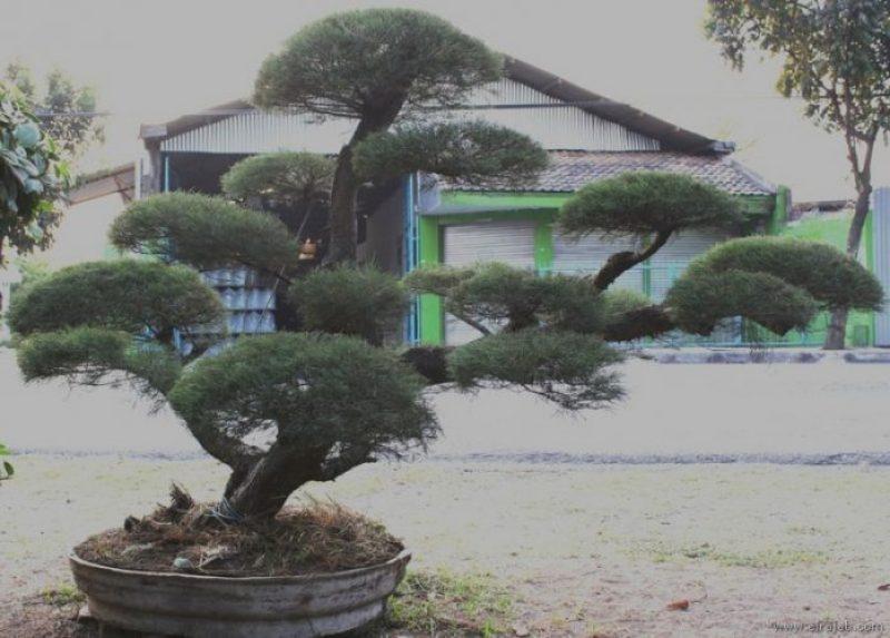 jenis pohon cemara udang