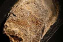 salamandra fosil