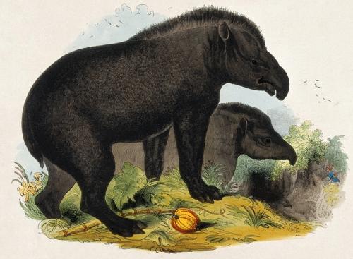 tapir america natural