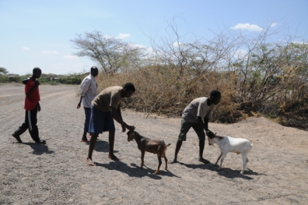 recovering the stolen goats... who do not want to come back with us!
