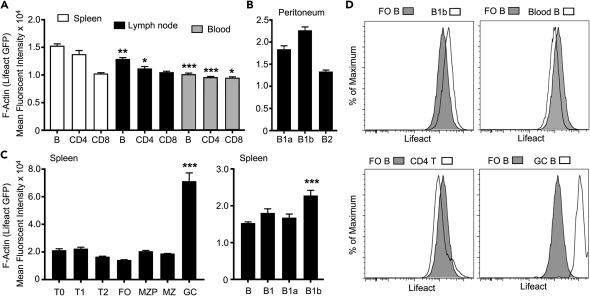 In Vivo F-Actin Filament Organization during Lymphocyte
