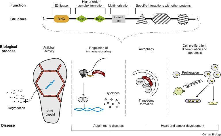TRIM proteins: Current Biology