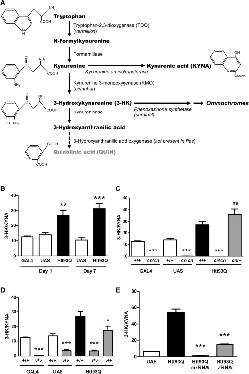 The Kynurenine Pathway Modulates Neurodegeneration in a