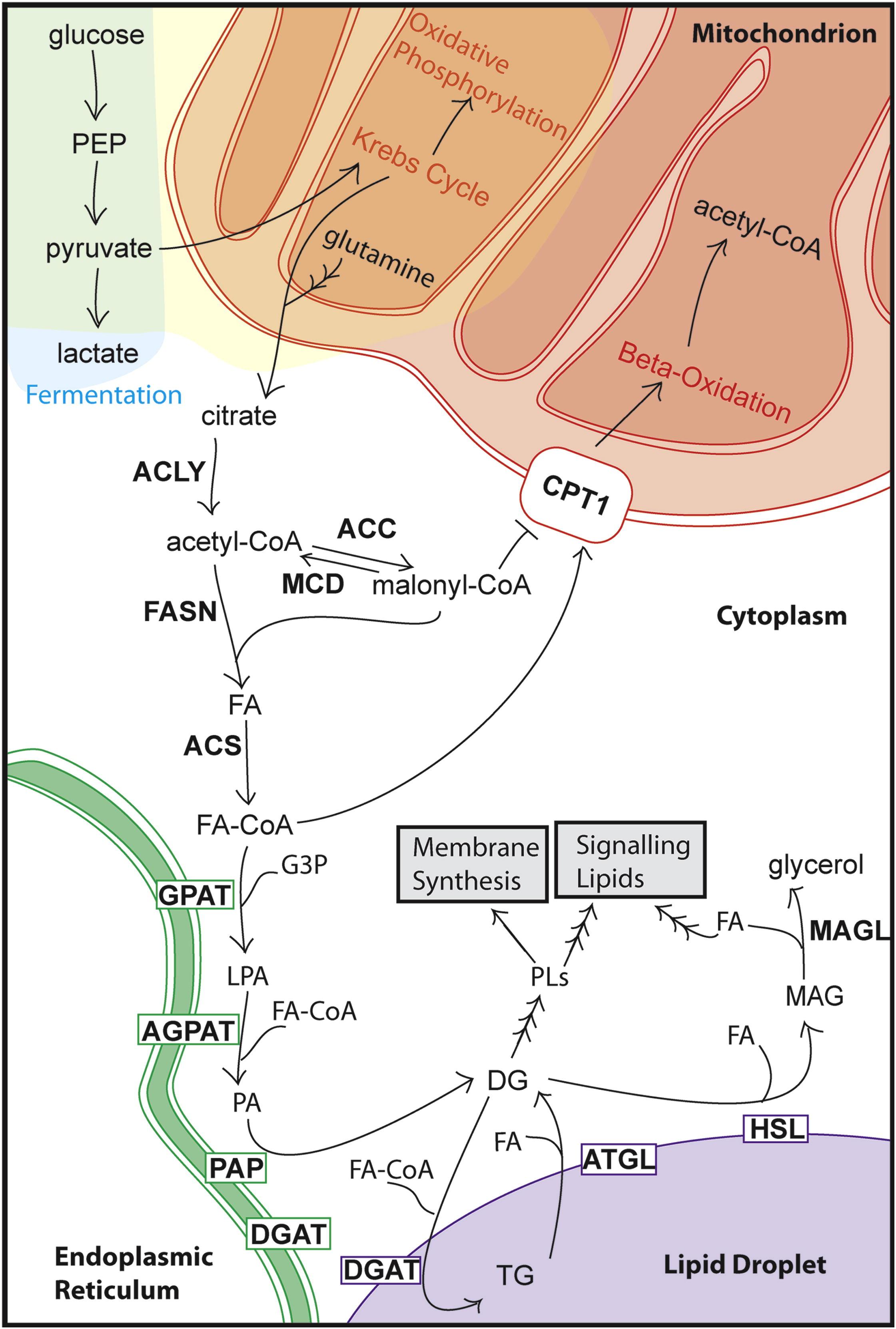 Cellular Fatty Acid Metabolism And Cancer Cell Metabolism