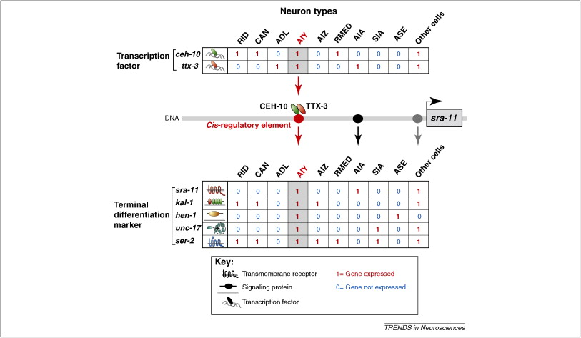 The molecular and gene regulatory signature of a neuron