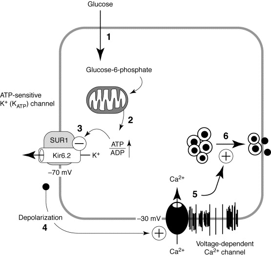 Potassium Channels, Sulphonylurea Receptors and Control of